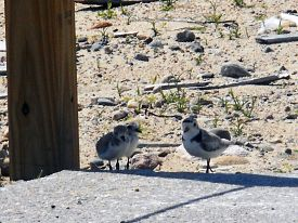 2016-plover-chicks-at-restoration-area-edge