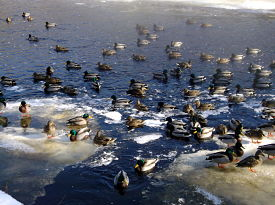 mallards-on-slocums-river