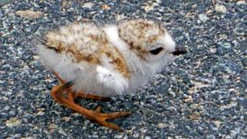 piping-plover-sept-2013