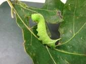 figure 1 blinded sphinx caterpillar