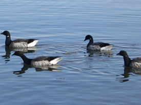 brant-in-new-bedford-harbor_opt
