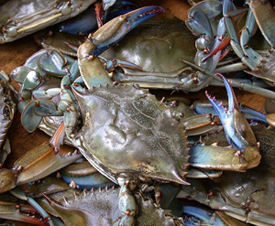 creature-feature-blue-crab