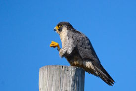 falcon-smith-neck-163