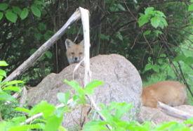 fox-pup-1