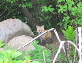 fox-pup-2