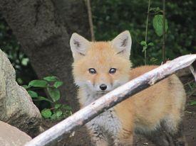 fox-pup-3