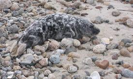 gray-seal