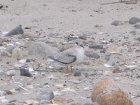 research-least-tern-fledge-horseneck-2012