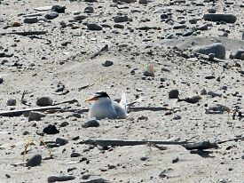 least-tern-incubates-horseneck