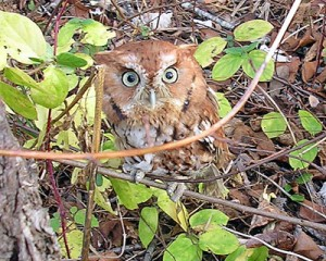 Owl on a Twig