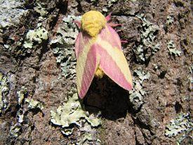 rosy-maple-moth