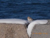snow-bunting-ft-tabor