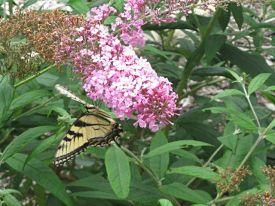 tiger-swallowtail