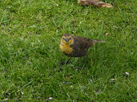 yellow-headed-blackbird-2